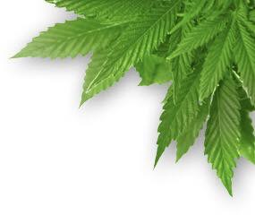 Cannabis Consulting Company