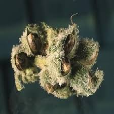 Cannabis Seeds HM