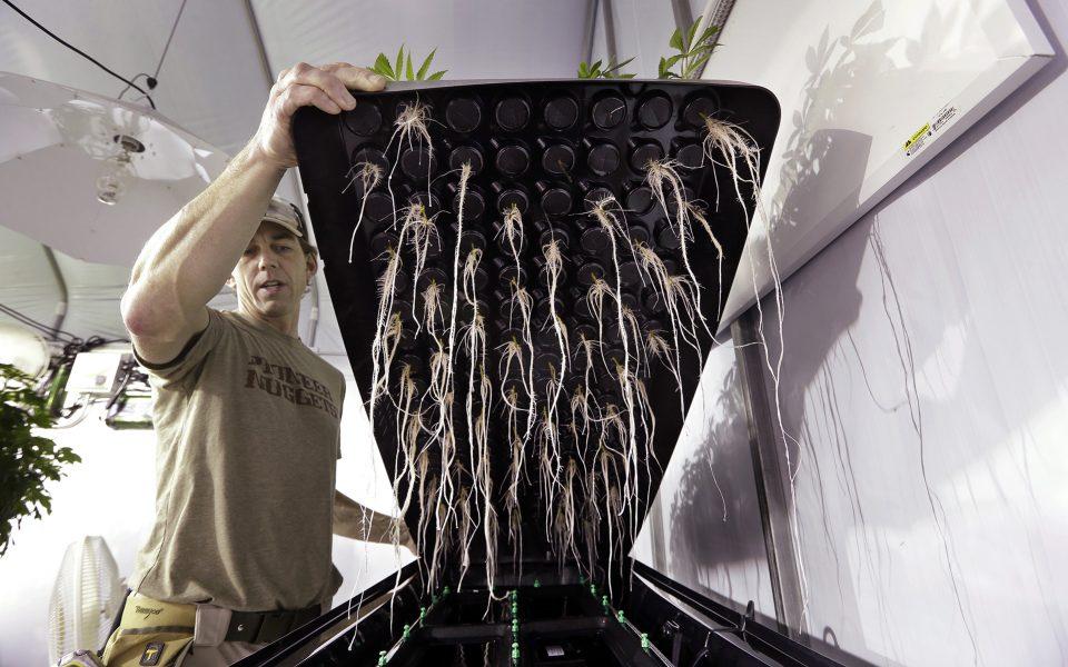 Introduction To Growing Cannabis With Aeroponics Hawaii
