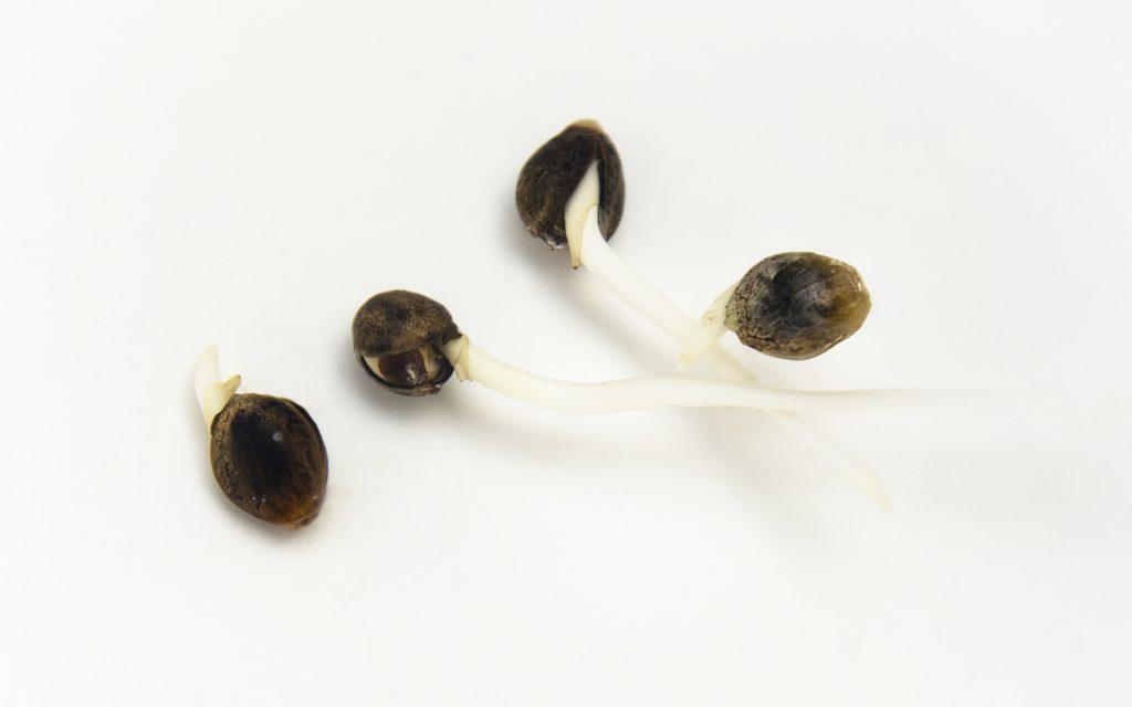 Germinated Hemp Seeds