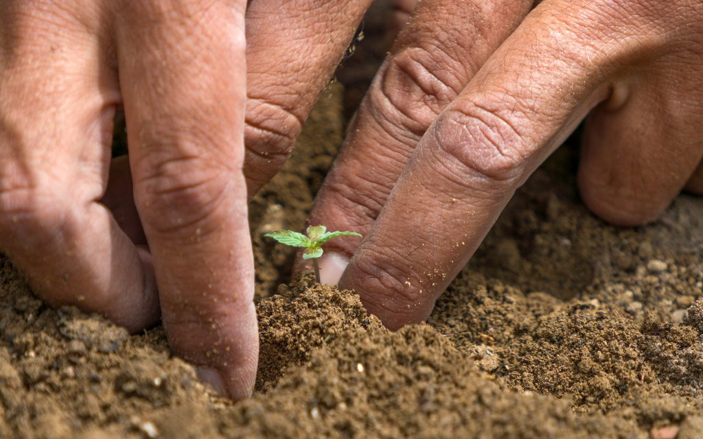transplanting germinated cannabis seeds