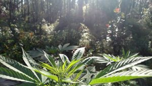 Cannabis Sativa in the morning Sun, reaching up and praying. Photo depicts strength and growth. Rooty greens and brilliant greens. The back drop is a native ohia forest.